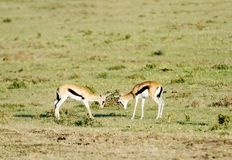 Thomson's Gazelles playing Royalty Free Stock Images
