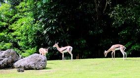 Thomson's Gazelles Royalty Free Stock Photos