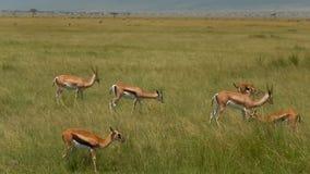 Thomson-thomson-gazelles απόθεμα βίντεο
