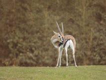 Thomson-thomsoni van gazelleeudorcas Royalty-vrije Stock Foto