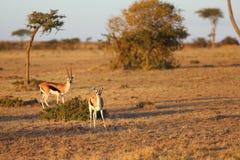 Thomson& x27;s Gazelle Royalty Free Stock Photos
