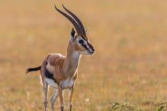Thomson's gazelle in grassland Stock Photos