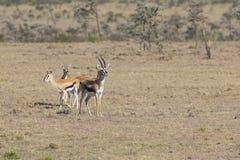 Thomson& x27;s Gazelle Royalty Free Stock Image