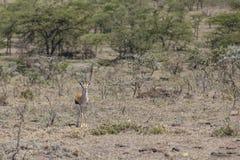 Thomson& x27;s Gazelle Stock Image