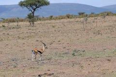 Thomson& x27;s Gazelle Stock Photos