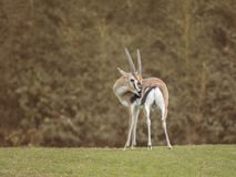 Thomsoni di Eudorcas della gazzella di Thomson Fotografia Stock Libera da Diritti