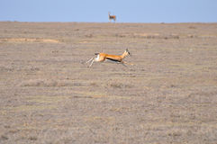 thomsoni thomson gazelle s eudorcas женское Стоковая Фотография
