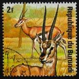 Thomsonii Thomson ` s gazelle Eudorcas, ζώα Μπουρούντι σειράς, Στοκ Φωτογραφίες