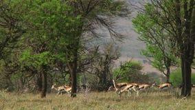 Thomsons gasell Serengetien lager videofilmer
