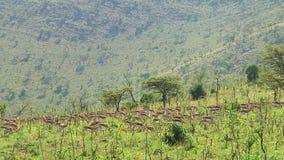 Thomsons gasell Serengetien arkivfilmer