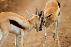Thomsons gazelle Royalty Free Stock Images