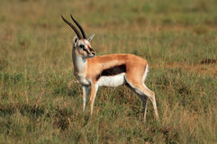 Thomsons gazelle Stock Photo