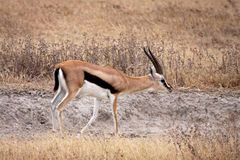 Thomsons Gazelle - Mann Lizenzfreie Stockfotos