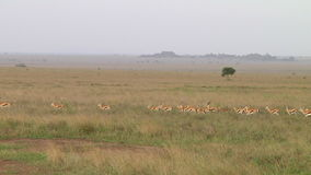Thomsons gazelle the Serengeti stock video footage