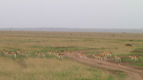 Thomsons gazelle the Serengeti stock footage