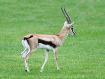 Thomsons Gazelle wildlife animal Royalty Free Stock Images