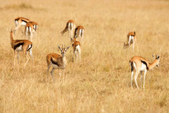 Thomsons gazelles grazing on grass of African savanna Stock Photos