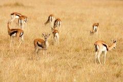 Thomsons gazelles grazing on grass of African savanna Stock Photos