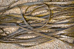 Thongweed, sea thong or sea spaghetti on sea rock. royalty free stock photos