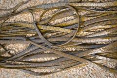 Thongweed, tanga do mar ou espaguete do mar no mar balança fotos de stock royalty free
