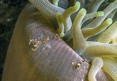 Thor amboinensis, squat shrimp Royalty Free Stock Image
