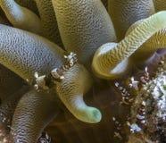 Thor amboinensis, squat shrimp Stock Photos