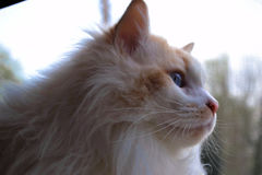 Thor da reunião, o gato de Ragdoll Imagens de Stock Royalty Free