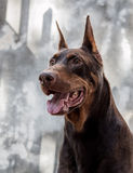 Thor Doberman Stock Photos
