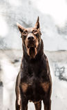 Thor Doberman Royalty Free Stock Images