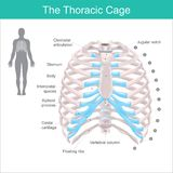 The Thoracic Cage. Thoracic cage is made up of bones and cartilage along, It consists of the 12 pairs of ribs with their costal cartilages and the sternum royalty free illustration