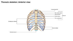 Thoracic Skeleton Anterior view Royalty Free Stock Image