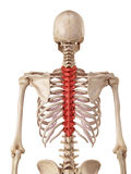 The thoracic spine Stock Image