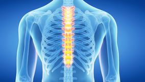 The thoracic spine stock video
