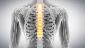 The thoracic spine stock footage