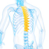 The thoracic spine Royalty Free Stock Photography