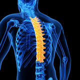 The thoracic spine Stock Photography
