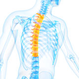 The thoracic spine Royalty Free Stock Photos