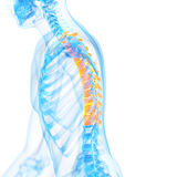The thoracic spine Stock Photo
