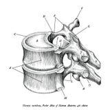 Thorakal isolat för konst för gem för illustration för kotaanatomitappning stock illustrationer