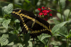 thoras för swallowtail för heraclides för fjärilsflyg jätte- in mot undersidatittaren Arkivbilder