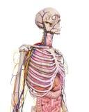 Thorax anatomia Fotografia Stock