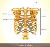 Thorax anatomy Royalty Free Stock Photography
