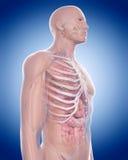The thorax anatomy Stock Photo