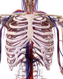 The thorax blood vessels stock illustration