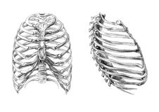 Thorax bones (2 angles). Hand drawn medical illustration drawing with imitation of lithography: Thorax bones (2 angles Stock Images