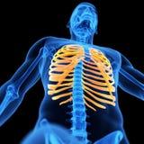 The thorax bones Royalty Free Stock Photo