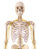 The thorax nerves Stock Photos