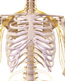 The thorax nerves Stock Image