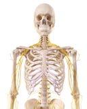 Thorax nerwy Zdjęcia Stock