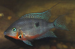 Thorichthys Meeki Firemouth Stock Images